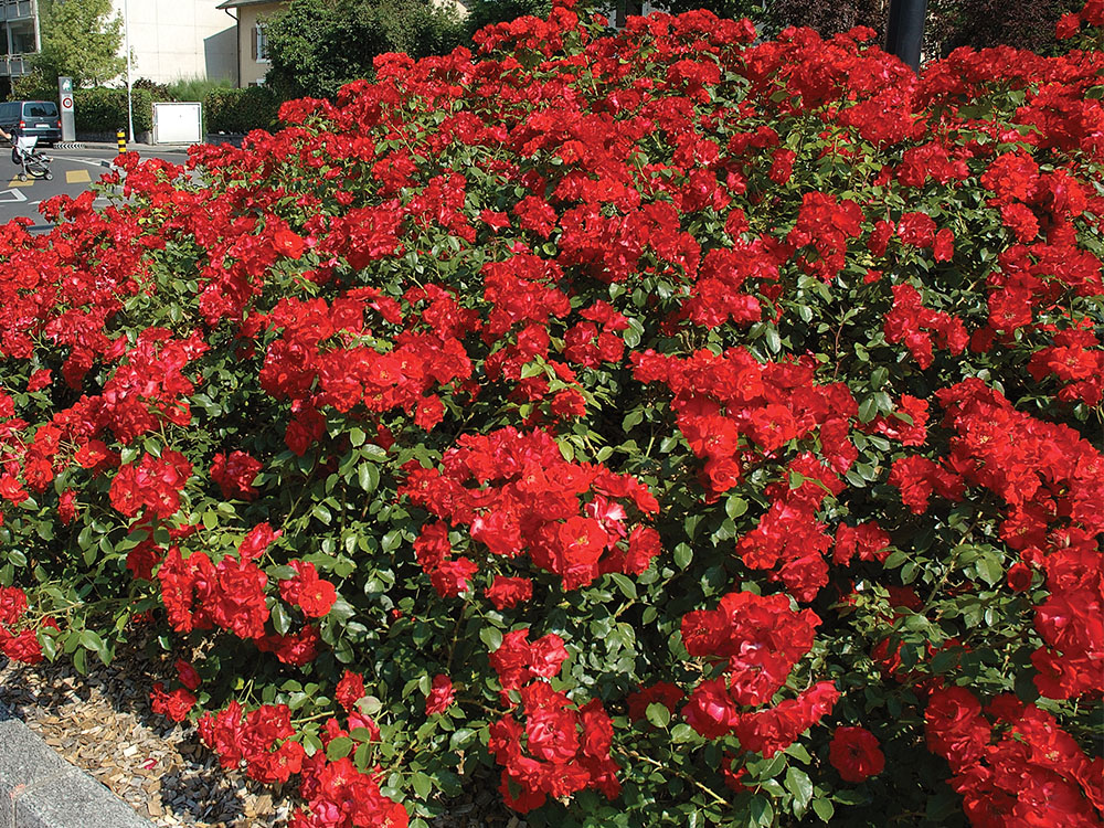 Picture of Live Rosa 'Drift - Red' PP#17877 Plant Fit 2 Gallon Pot